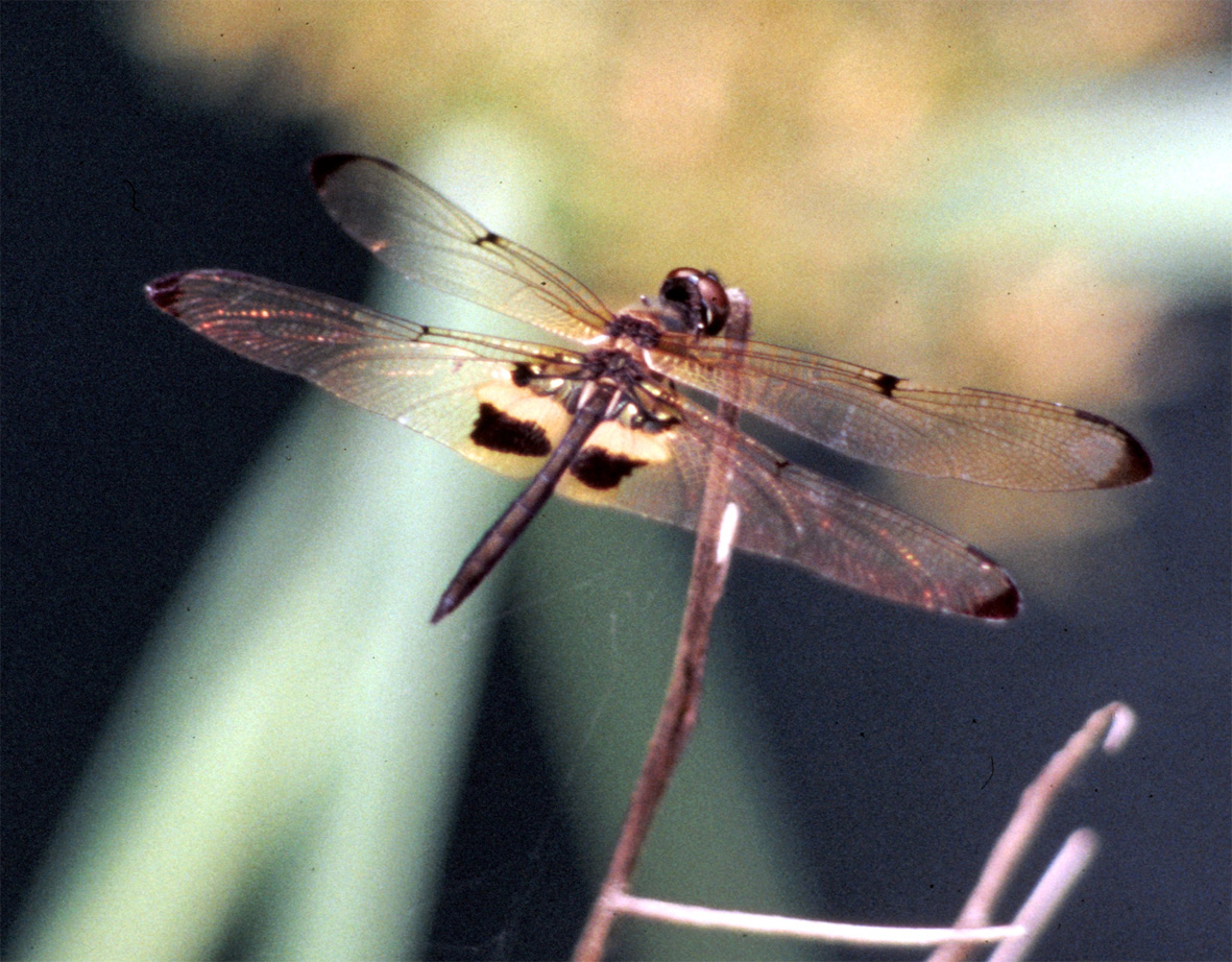 Dragonfly © Shirley Burchill